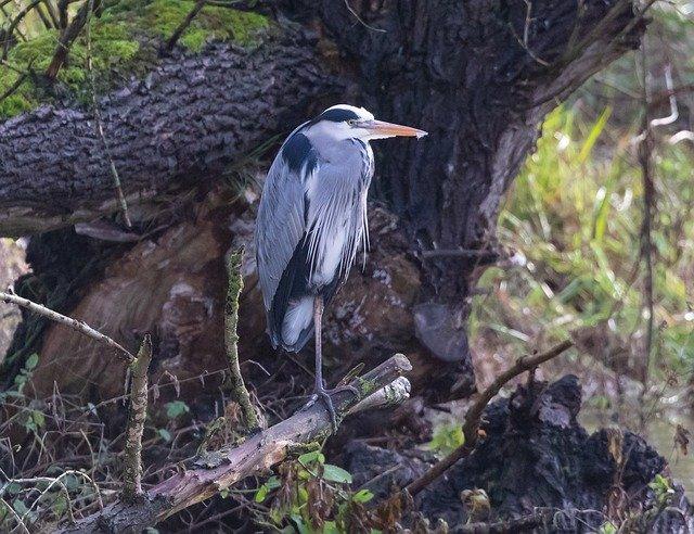A birdwatching win, a Blue Heron (TBC)